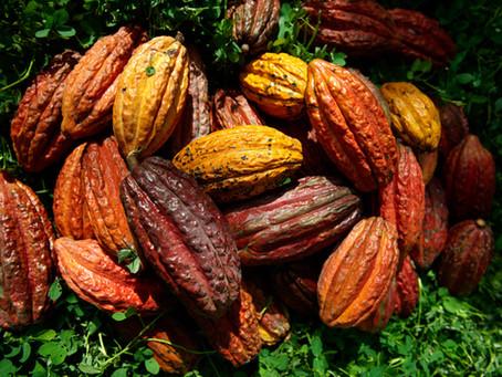En el día internacional del cacao, FEDECACAO y el Banco Agrario anuncian convenios de apoyo.