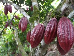 Producción de cacao colombiano sigue en aumento