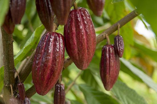 cacao-5486738_1920.jpeg