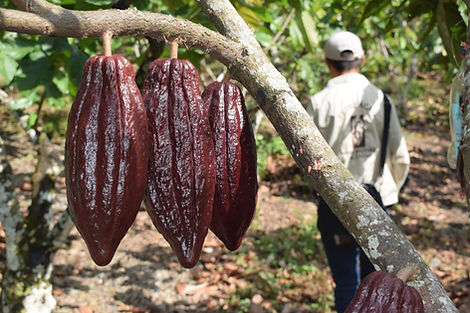 Cacao (4).JPG