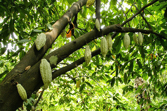 low-angle-shot-cocoa-tree-with-blooming-