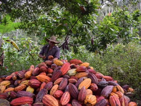 El primer trimestre del 2021 registró la producción de cacao más alta de la historia en Colombia