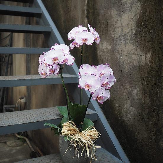 Phalaenopsis Orchid Vase