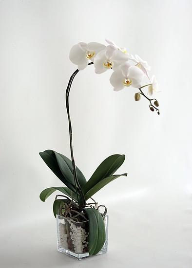 Philaenop Orchid Box