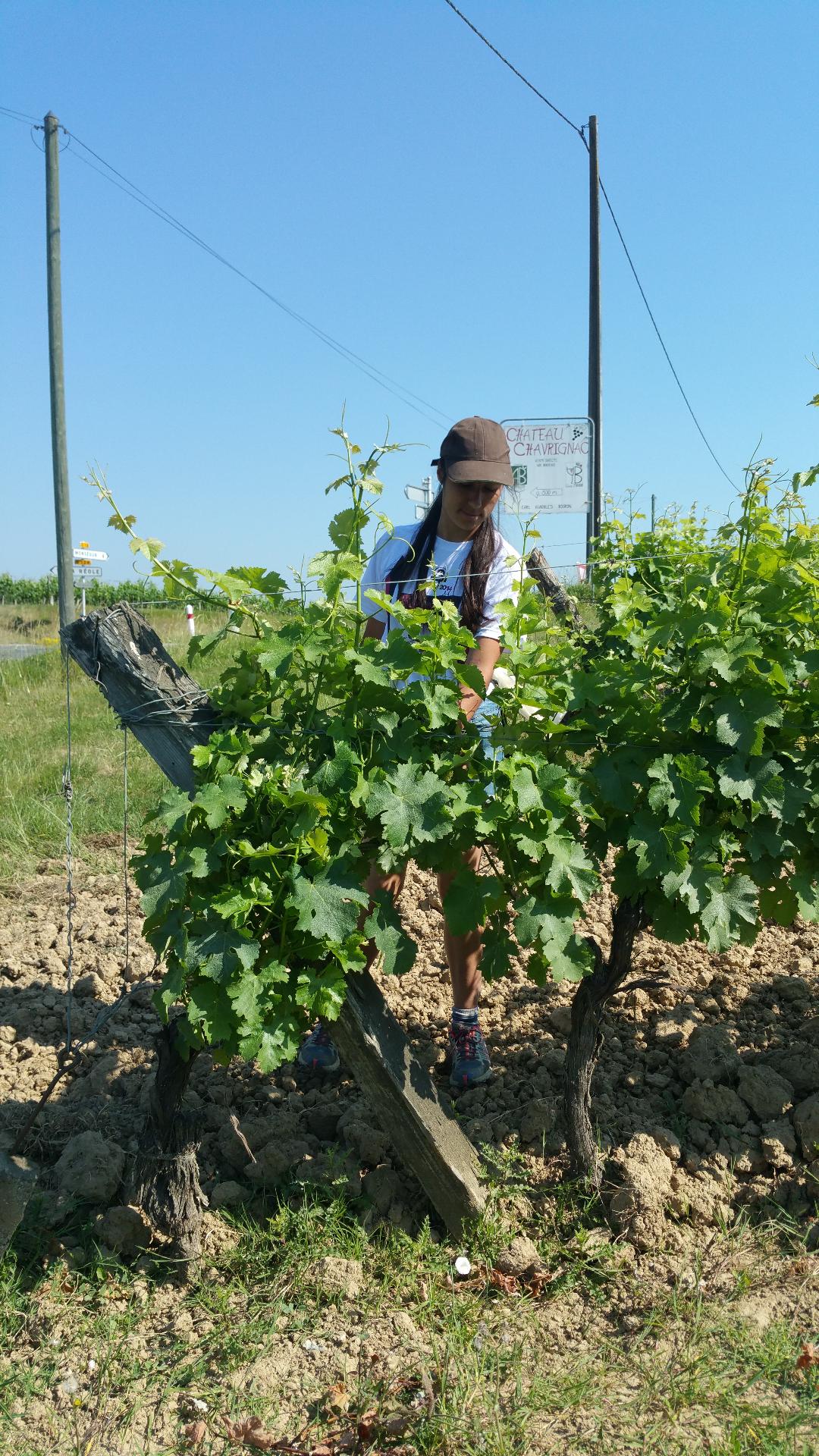 Travaux d'été à la vigne