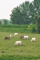 vacas que pastam