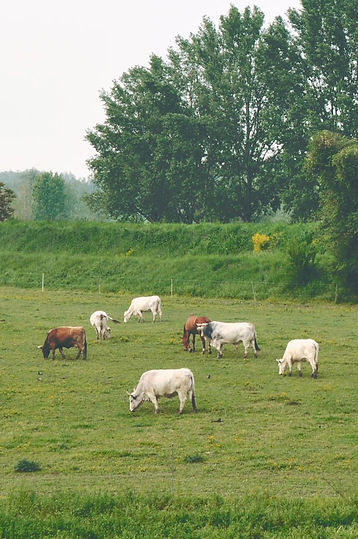 Las vacas de pastoreo