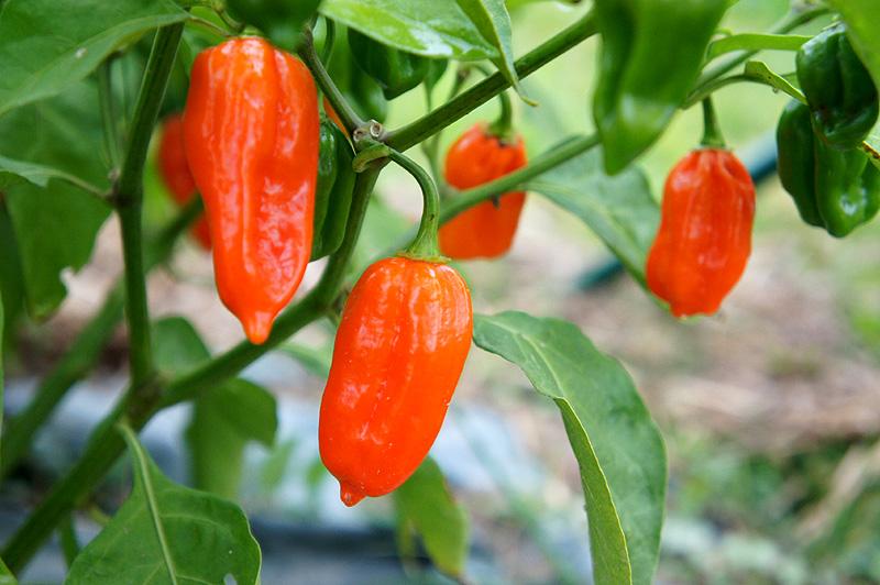 Bhut-Jolokia_Pflanze