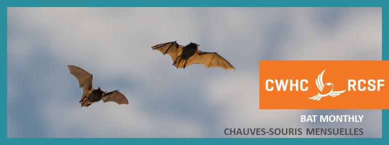 Bat Monthly Chauves-souris Mensuelles October 2019