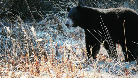 Black Bears in Missouri