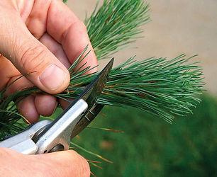 Woodland Park Pines, Tree Trimming CO, Aborist Colorado Springs