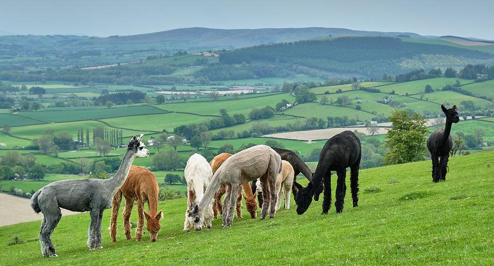 Fostings Alpacas 17.jpg