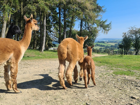 Caring for Alpacas: How to Treat Worms
