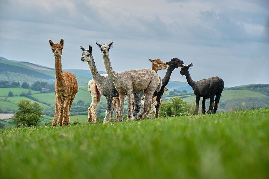 Fostings Alpacas 19.jpg