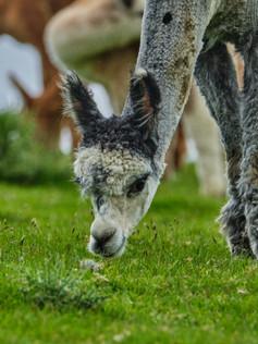 Fostings Alpacas 40.jpg