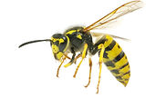wasp control service exterminator regina area