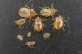 Bed Bug molted shells/casings