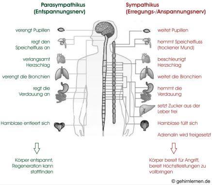 Grafik zur Wirkung von Sympathikus und Parasympathikus