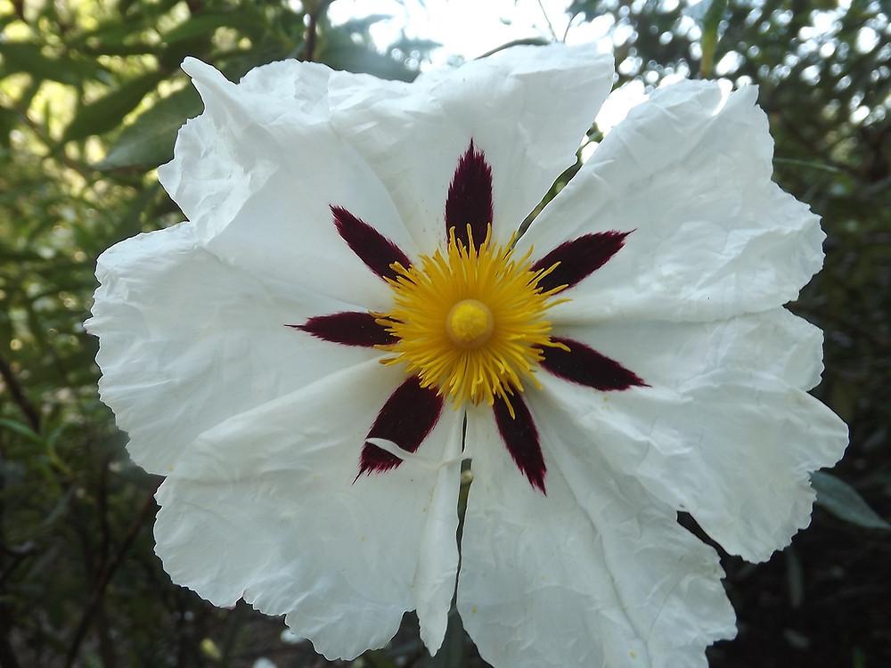 Blüte einer Cistrose (Quelle Pixabay)