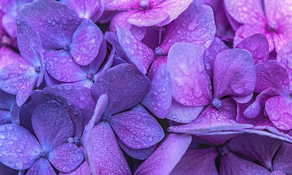 Purple - Hydrangea