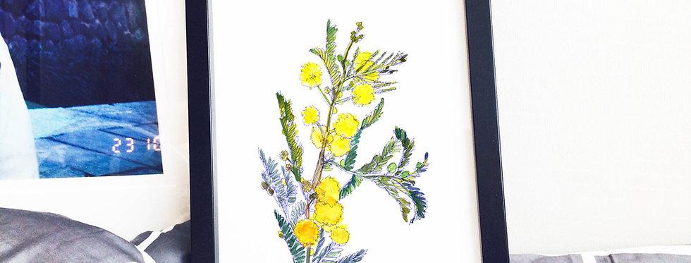 Acacia Spring Flower
