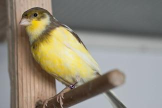 Joes-Canaries-19.jpg