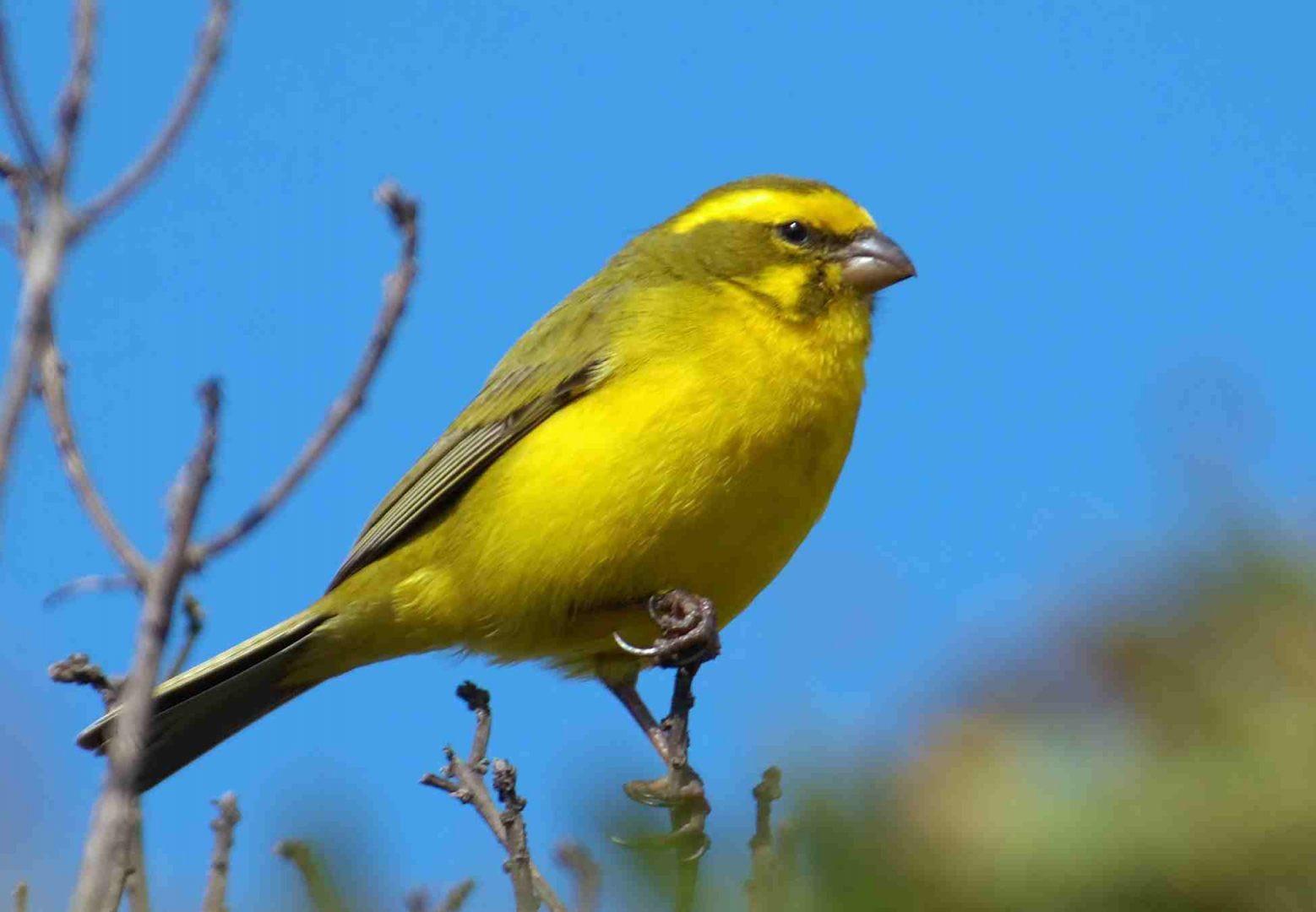canario-silvestre-amarillo.jpg