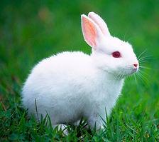 conejo-blanco.jpg
