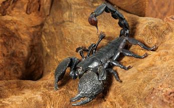 escorpion_emperador.jpg