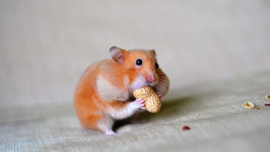 close-up-of-a-hamster-eating-groundnut-6