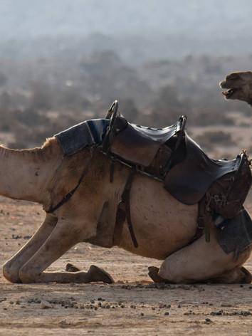 camels.ngeo