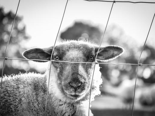 Le bouchon moutonnier ou comment profiter de la coronanxiété