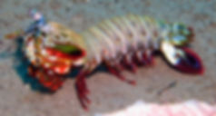 Mantis Shrimp Siam Bay - Liveaboards Phuket