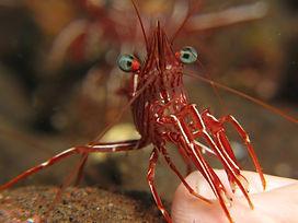 Durban Dancing Shrimp - Liveaboards Phuket