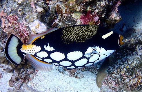 Clown Triggerfish - Koh Similans Liveaboards Phuket