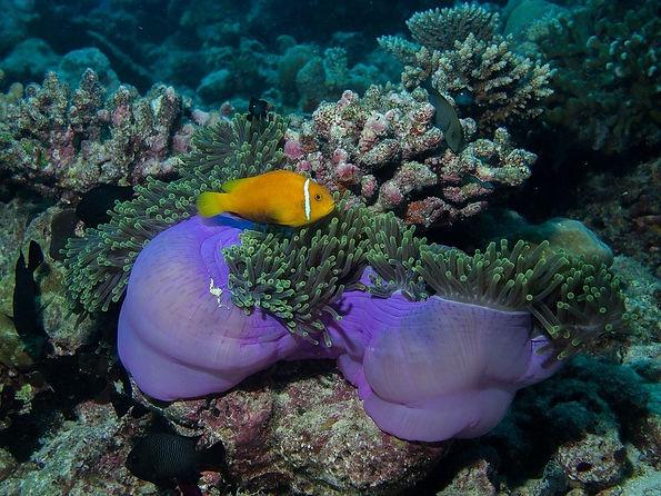Anemone Reef - Liveaboards Phuket