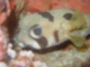 Porcupine Puffe Fish - Liveaboards Phuket