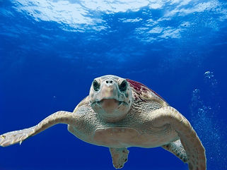 Hawksbill Turtle - Liveaboards Phuket