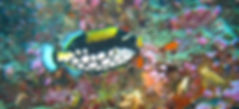 Clwon Trigger Fish - Phuket Liveaboards