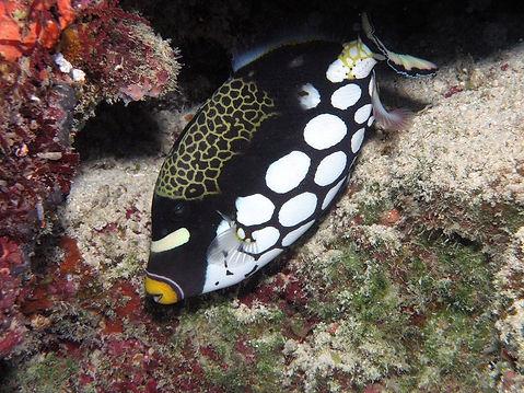 Clown Triggerfish - Liveaboards Phuket Thailand