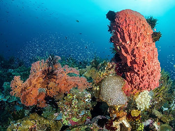 Barrel Sponge -  Liveaboards Phuket