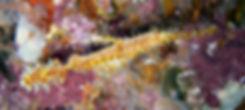 Pipefish - Richelieu Rock Thailand