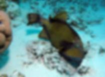 Titan Triggerfish - Liveaboards Phuket