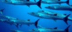 Pickhandle Barracuda - Koh tachai Similan Islands Thailand