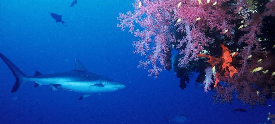Grey Reef Shark - Liveaboards Phuket