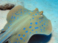 Blue Spotted Stingray Siam Bay - Liveaboards Phuket