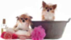Chihuahua Bath before grooming