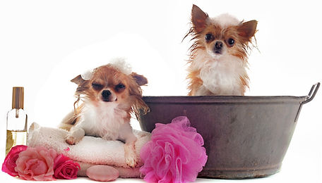 Chihuahua Bath before grooming