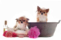 Deux chihuahuas au toilettage