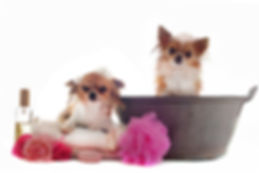Chihuahua Baño